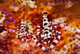 Coleman shrimp duet