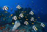 Molana baneerfish schooling