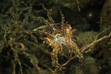 Cuttlefish mimics a seagrass