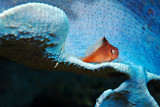 Hawkfish sitting on a blue sponge
