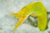 Female ribbon eel