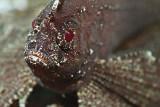 Sweet cockatoo leaffish portrait
