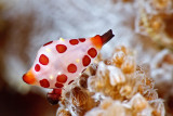 Rosewateri allied cowrie