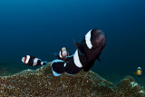 Black clownfish defending their anemones