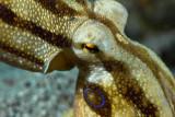 Mototi octopus portrait