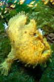 Secret bay hispid frogfish
