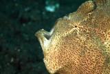 Yawning giant frogfish