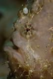 Hispid frogfish