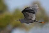Black Egret - Zwarte Reiger - Egretta ardesiaca