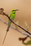 Green Bee-eater - Kleine Groene Bijeneter -Merops orientalis