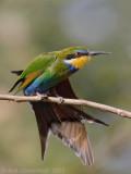 Swallow-tailed Bee-eater - Zwaluwstaartbijeneter - Merops hirundineus