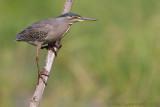 Striated Heron - Mangrovereiger - Butorides striatus