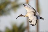 Sacred Ibis - Heilige Ibis - Threskiornis aethiopicus