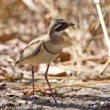 Bronze-winged Courser - Bronsvleugelrenvogel - Rhinoptilus chalcopterus