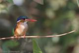 Malachite Kingfisher - Malachietijsvogel (Kleine Gekuifde IJsvogel) - Alcedo cristata