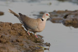 African Mourning Dove - Treurtortel - Streptopelia decipiens