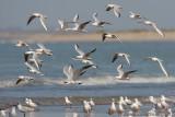 Slender-billed Gull - Dunbekmeeuw - Chroicocephalus genei