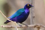 Purple Glossy-starling - Purperglansspreeuw - Lamprotornis purpureus