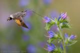 Kolibrievlinder - Hummingbird Hawk Moth - Macroglossum stellatarum