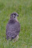 Merlin - Smelleken - Falco columbarius