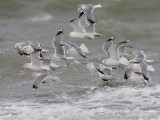 Stormmeeuw / Common Gull