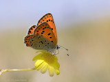Lesser Fiery Copper - Oostelijke Vuurvlinder - Lycaena thersamon
