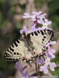 Eastern Festoon - Oostelijke Pijpbloemvlinder - Allancastria cerisyi speciosa