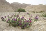 Viper's Bugloss or Blueweed - Slangenkruid - Echium vulgare