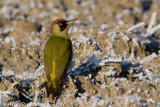 Groene Specht / European Green Woodpecker