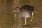 Waterhoen / Common Moorhen