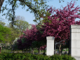 Flowering crab apple trees, Woodland Cemetery