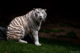 Siberian Tiger with Butterfly