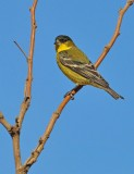 American gold finch I think