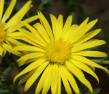 yellow spiny aster