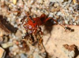 Harvester ant being attacked by Big Headed ants.