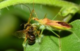 assassin bug and bee