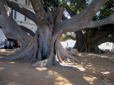 the old ficus trees