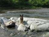 Max puppers swimming the Ausable River