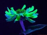 Zinnia_BV5_P1430502_c.jpg