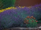 Lavender_VIS_P1450047_c.jpg