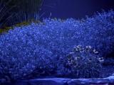 Lavender_BV2_P1450038_c.jpg