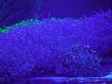 Lavender_BV6_P1450035_c.jpg
