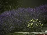 Lavender_UV_P1450030_c.jpg