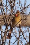 Cardinal rouge femelle (Northern cardinal)