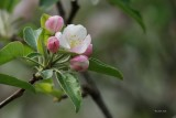 Fleurs de pommier (Apple flowers)