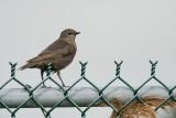 Étourneau sansonnet, jeune (Starling, young)