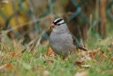 Bruant à couronne blanche (White-Crowned sparrow)