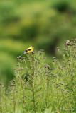 Chardonneret jaune, male (American Goldfinch)