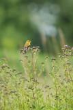 Chardonneret jaune, female (American Goldfinch)