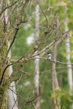 Martin-pêcheur d'Amérique (Belted kingfisher)